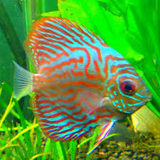 Pin by Cheryl Perry-Walker on Aquarium | Discus fish, Beautiful tropical  fish, Fish
