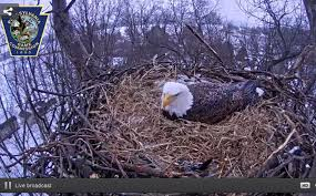 eagles nest size bald eagle nest cam eight things you didnt know pennlive com