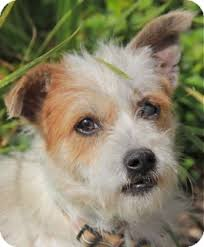 wire hair terrier mix breeds. Contemporary Breeds Norwalk CT  Fox Terrier Wirehaired Meet Mackenzie Adoption Pending A  Dog For Adoption To Wire Hair Mix Breeds