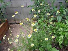 6 flowers to plant in the vegetable garden flowers in the vegetable garden can improve