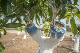 How To Graft Fruit Trees With Pictures