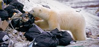 Polar Bears' Plastic Diets Are a Growing Problem | Hakai Magazine