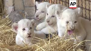 newborn white lion cubs. Modren Newborn Ukraine  Zoo Celebrates Birth Of White Lion Cubs  Editoru0027s Pick 11  August 16 With Newborn White Lion Cubs I