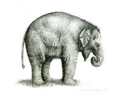 Baby Elephant Drawings Baby Elephant G2011 08 Drawing By Svetlana Ledneva Schukina