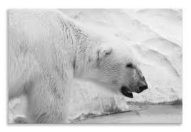polar bear canvas black white animals landscape wall art picture home decor on black and white bear wall art with polar bear canvas black white animals landscape wall art picture home