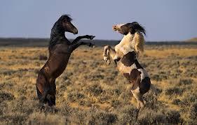 wild paint horses rearing.  Horses Wild Paint Horses Rearing  Photo7 In Paint Horses Rearing T