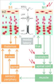 summary diagram showing connectivity between primary motor cortex m1 and a primary sensory cortex area here primary somatosensory cortex