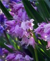 Hyacinthoides & Scilla - Flower Bulb Index