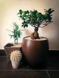 1000 ideas about ficus ginseng on pinterest bonsai ipome and chlorophytum add bonsai office interior