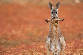 kangaroos are lefties why handedness is rare among animals