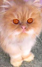 orange persian cat. Delighful Orange Fluffy Persian Cat Very Different Color Eyeslooks Like My Kitty   To Orange