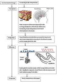 Biological Systems Homeostasis Texas Gateway