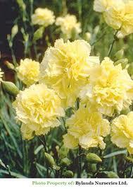 Hardy Double <b>Yellow</b> Carnation - Dianthus caryophyllus 'Grenadin ...