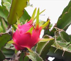 Vietnamese Dragon Fruit Wins Aussie Entry After Decadelong Dragon Fruit On Tree