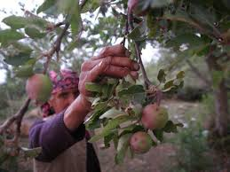 Apples Orchards Replace Tea Gardens In Lower Himachal