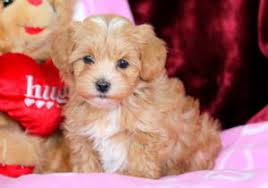 valentine morkiepoo puppy for in pennsylvania