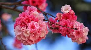 Bunga Sakura Magelang Perbanyak Tanaman Bunga Mirip Sakura Regional