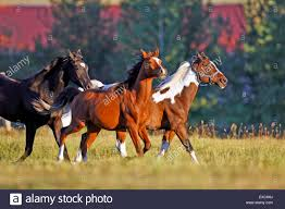 paint horses running in a field.  Paint Group Of Horses Running Together In A Field  Stock Image With Paint Running In A Field Alamy