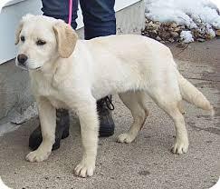 corgi lab mix puppies. Brilliant Mix Adopted For Corgi Lab Mix Puppies F