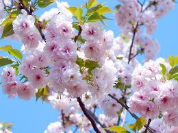 Bunga Sakura 5 Fakta Unik Pohon Sakura Di Jepang