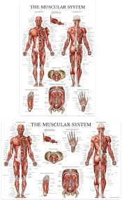 Laminated Anatomical Charts The Muscular System Anatomical Chart Laminated Anatomy