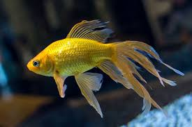 fantail fish. Beautiful Fantail In Fantail Fish I
