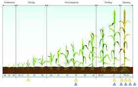 Wheat Growth Stages Chart Wheat Growth Stages Kozen Jasonkellyphoto Co