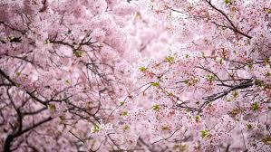 Blooming Sakura Cherry Blossom Background Stock Footage