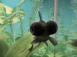 petsmart black goldfish. Unique Petsmart Black Moor Goldfish Personality To Petsmart Goldfish D
