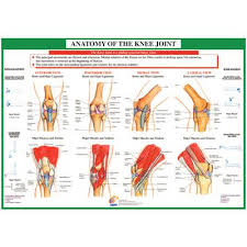Chartex Knee Anatomical Chart