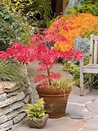 Small Picture planting japanese maple in containers Google Search Garden