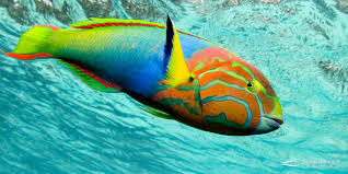 Image result for wrasse