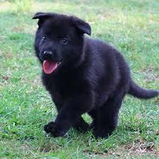 baby black german shepherd. Simple Shepherd Available Puppies With Baby Black German Shepherd R