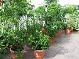 Mature plants for sale