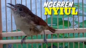 Cukup perhatikan burung dari luar sangkar, anda tidak perlu memegang si burung. Burung Flamboyan Jantan Dan Betina Pleci Bustomi Gacor Jantan Memanggil Betina Muzarab Buat Pancingan Youtube Kicau Burung Flamboyan Gacor Masteran Murai Batu Pleci