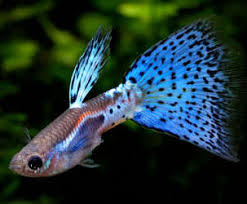 Black Ghost Knife Fish Compatibility Chart Aquarium Industries Care Sheets For Tropical Fish Species