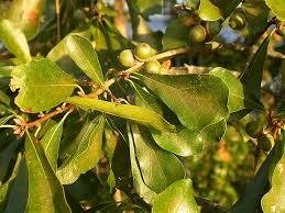 Asimina Triloba  WikipediaFruit Trees That Grow In Nc