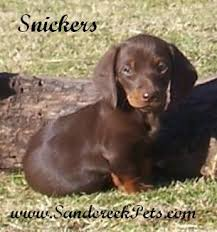 miniature dachshund picture