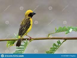 Asian Golden Weaver, Beautiful Yellow Bird Perching On Fresh Lea Stock  Image - Image of scene, natural: 132136587