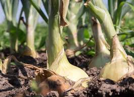 how to plant grow and harvest onions