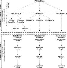 Flow Chart Of Adult Stem Cell Hierarchy And Nomenclature