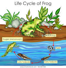 Education Chart Biology Life Cycle Frog Stock Vector