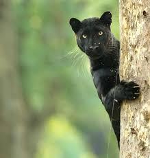 Pin By Lexy Flex On эскиз тату большие кошки черная пантера