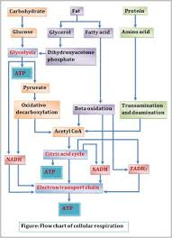 What Is Word Chemical Cellular Respiration Equation