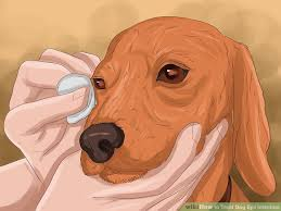 How to Treat Dog Eye Infection: 8 Steps (with Pictures)
