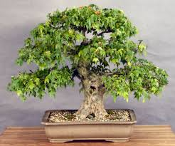 want to buy bonsai what to consider bought bonsai tree