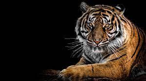 Siberian Tiger 4K Wallpapers ...