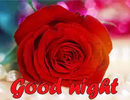 Red Rose Good Night Wallpaper Download