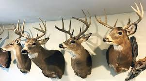 Whitetail Antler Growth Chart What Determines A Bucks Antler Color Qdma