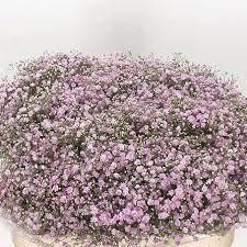 from aalsmeer auction gypsophila my pink
